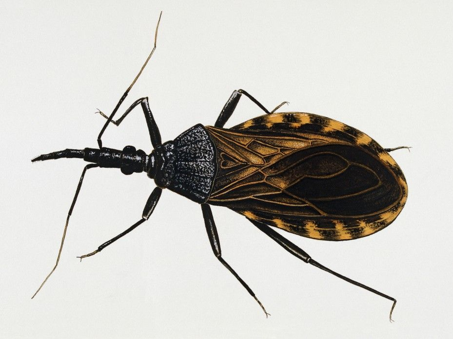 Remain Calm Kissing Bugs Are Not Invading The Us Bugs Remain