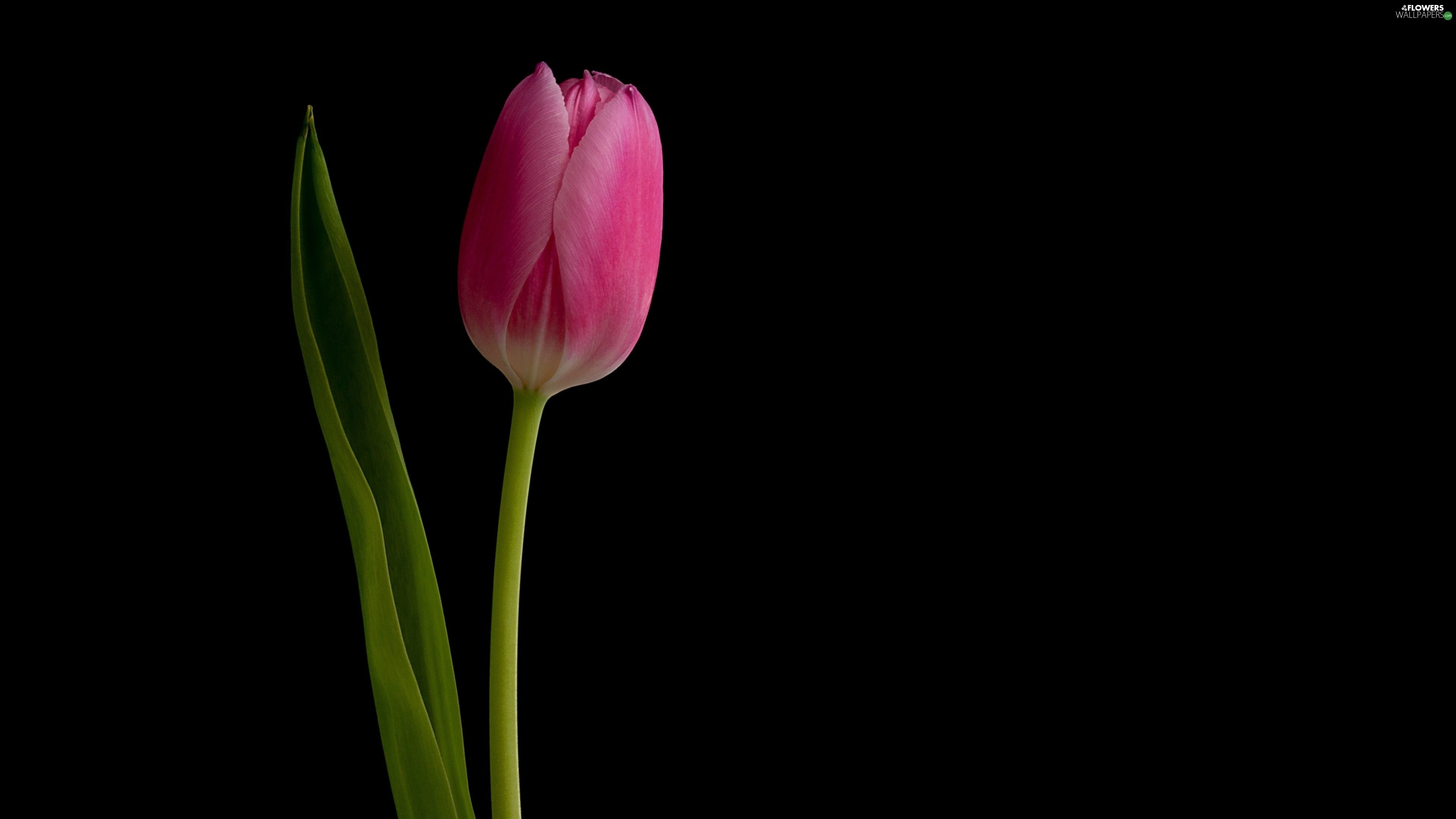 Tulip Flowers Hd Wallpapers Free Download Tulips Flowers Tulips Black Tulips