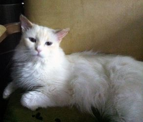 Adopt Adena On Petfinder Cat Lovers Pet Finder Ragdoll Cat
