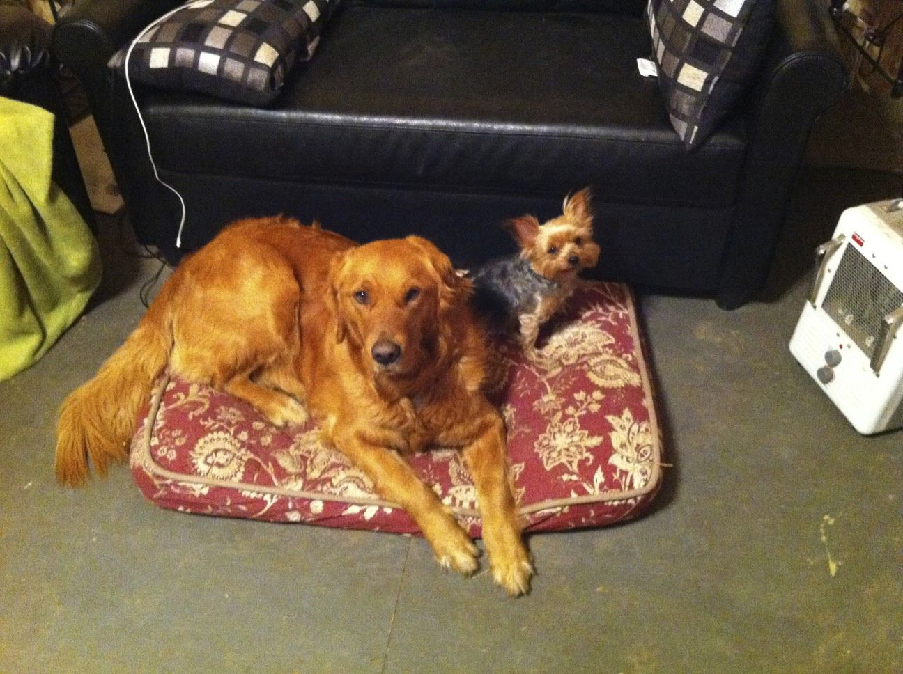My Golden Retriever And Yorkie Chillin Puppies Dog Lovers