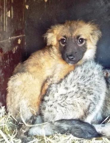 Hund Welpe, Mischling (Mischling, Hündin, 4 Monate) in