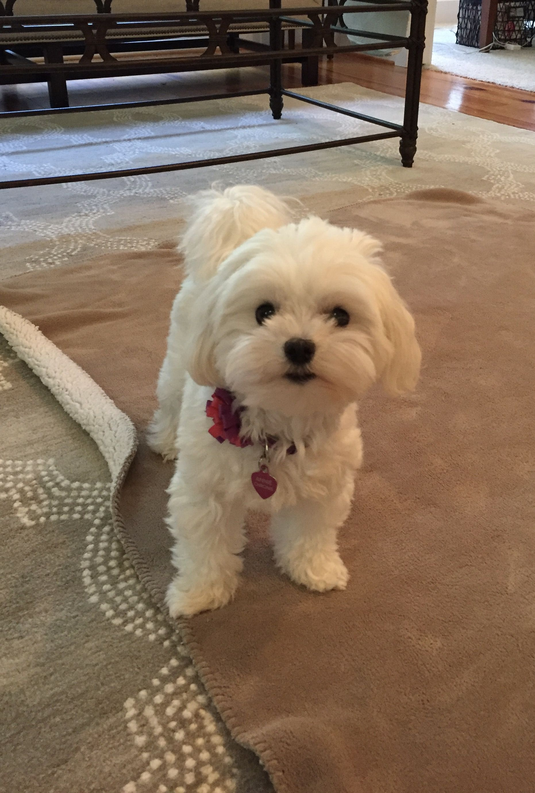 Hey Want To Play Cute Animals Pinterest Plays Maltese And Dog