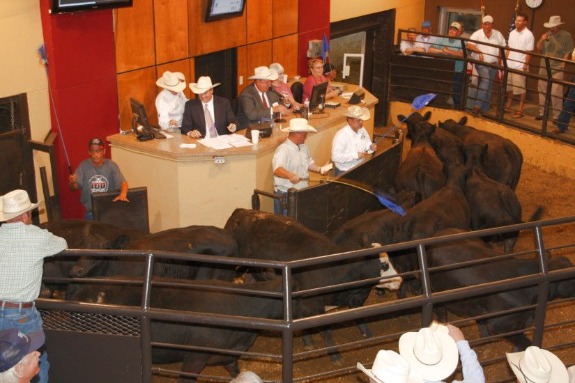 World S Largest Cattle Auction Every Monday And Tuesday At