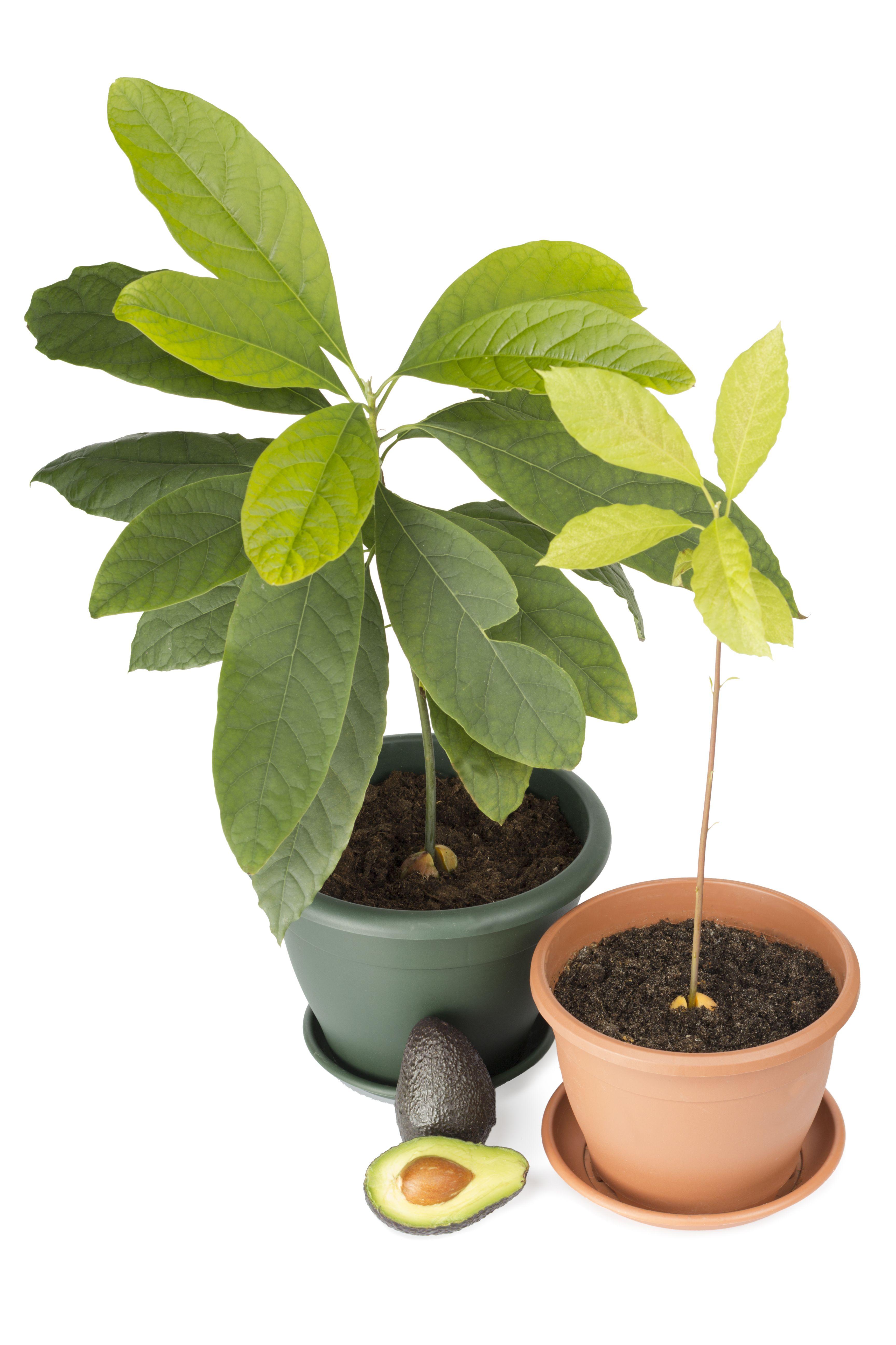 Avocado Selbst Pflanzen
