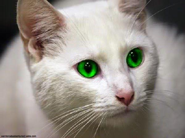 """Résultat de recherche d'images pour """"chat blanc yeux vert"""""""