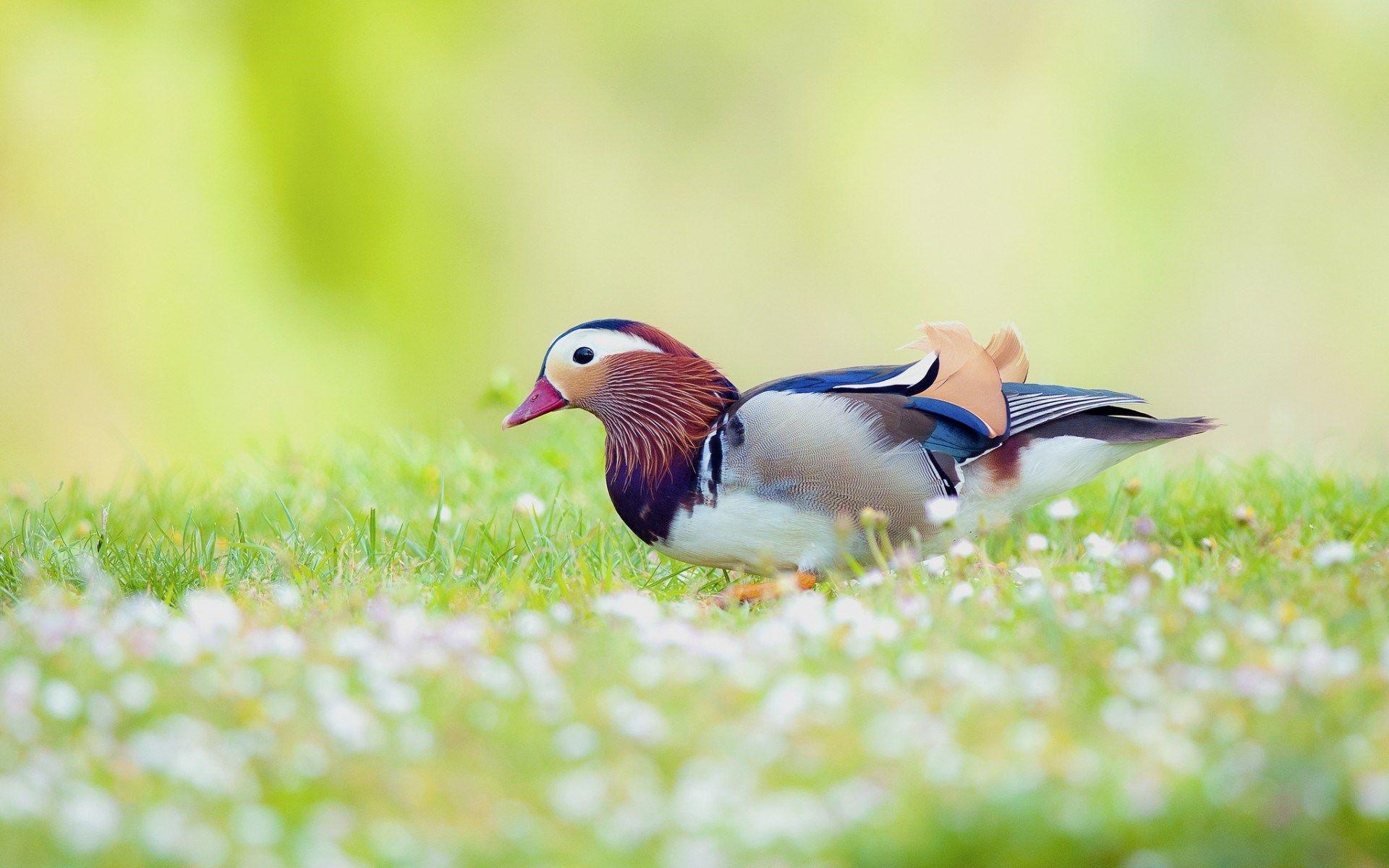 Duck Bird Hd Wallpapers Desktop Backgrounds Duck Pictures Birds Wallpaper Hd Animals
