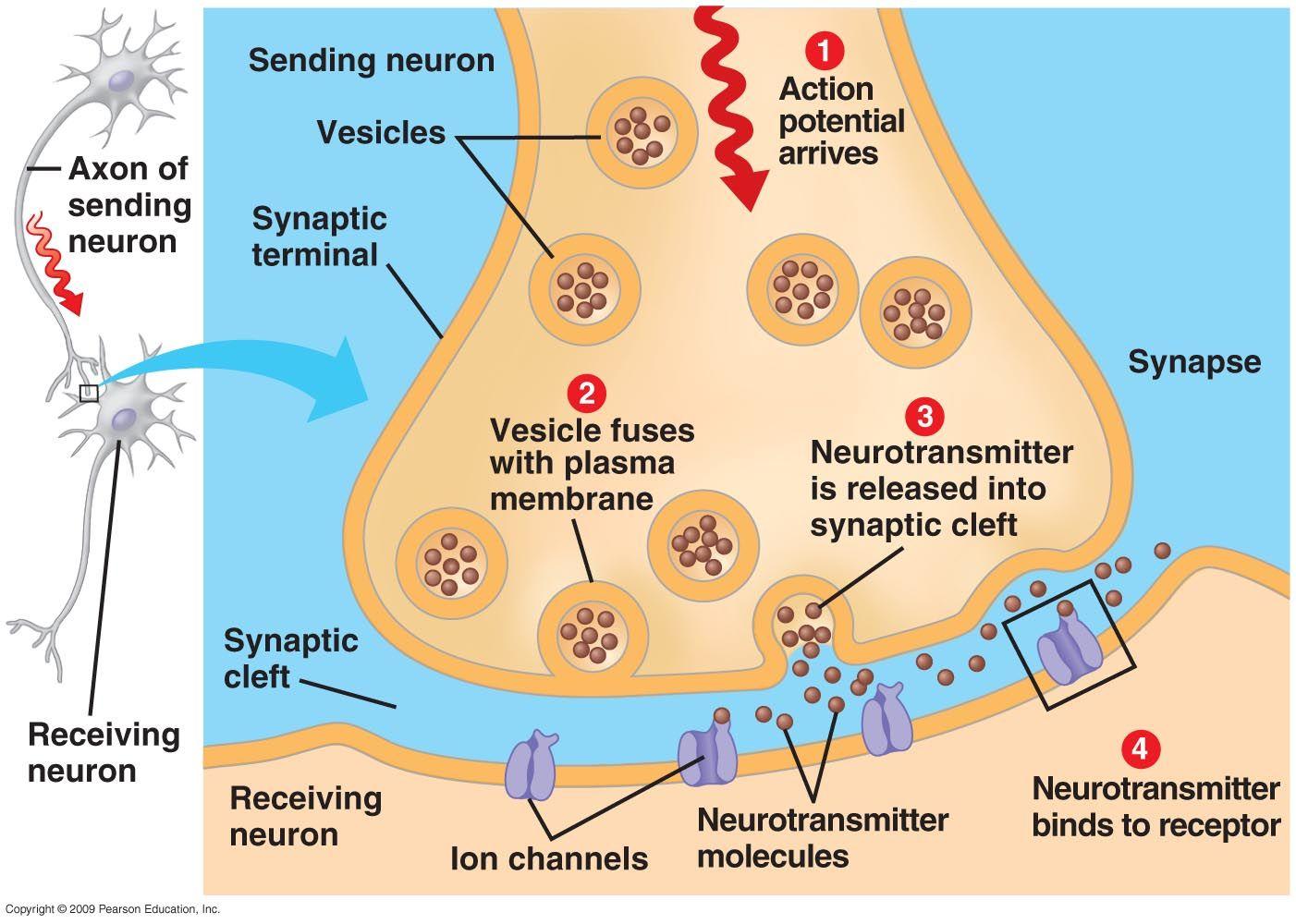 Synapse   Anatomy physiology   Pinterest   Anatomy, Psychology and ...