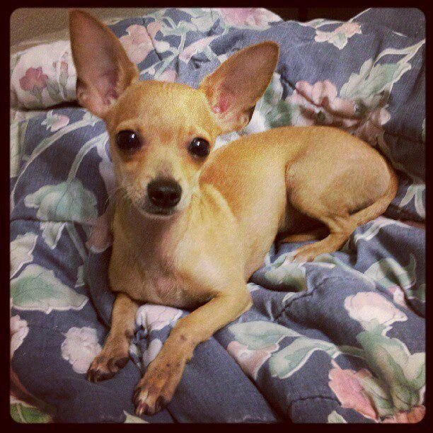 Meet Dominick Dominick Is A 7 Month Old Chiweenie Chihauhua