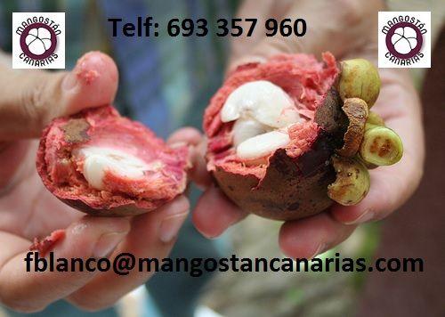La fruta entera del Mangostán especialmente el pericarpio o cáscara ...