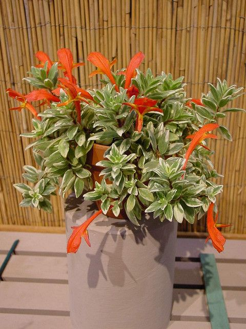 Columnea Variegated Gesneriad Goldfish Plant Hanging Plants Tropical Plants