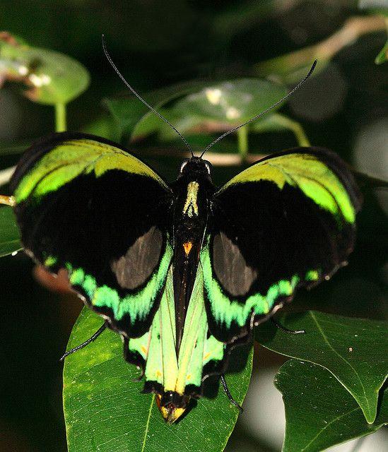 """Cairns Birdwing butterfly, Kuranda / """"São pequenos detalhes que fazem valer grandes transformações."""" (Jadson Ferreira)"""