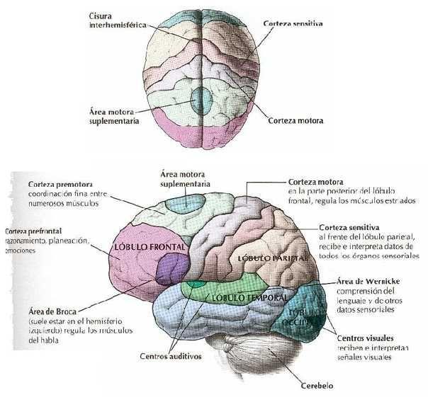 Biologia Fotos Dibujos Imagenes Dibujos Del Cerebro Humano Y Sus Partes 4 Anatomia Del Cerebro Humano Cerebro Humano Cerebro