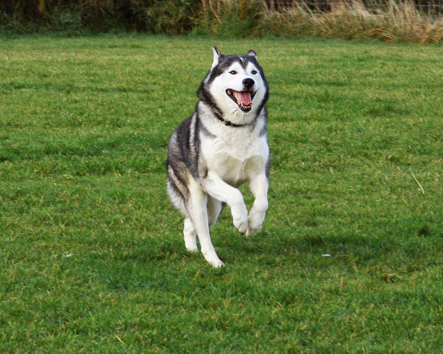 Siberian husky is a medium size and densecoat working dog
