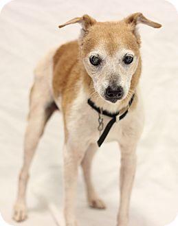Bradenton Fl Jack Russell Terrier Chihuahua Mix Meet Buster A