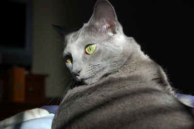 Russian Blue Cats | Russian Blue Cat Breed Info & Pictures