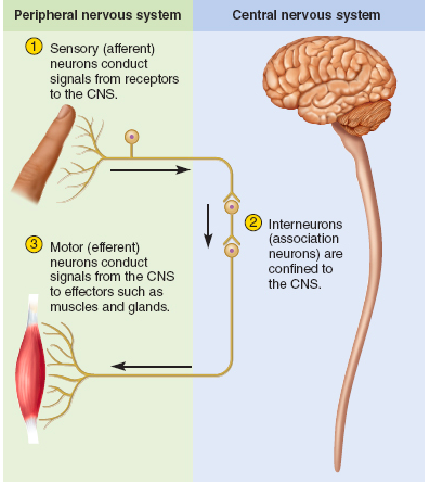 There Are Three General Classes Of Neurons Based On Function Which All Contain The Properties Of Excitability Peripheral Nervous System Nervous System Neurons