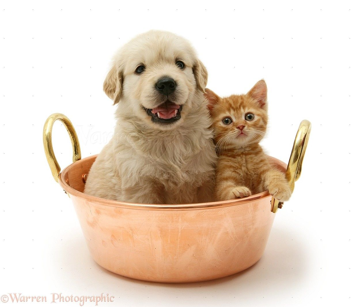 Wp13777 Golden Retriever Pup And Ginger Kitten In A Copper Pan