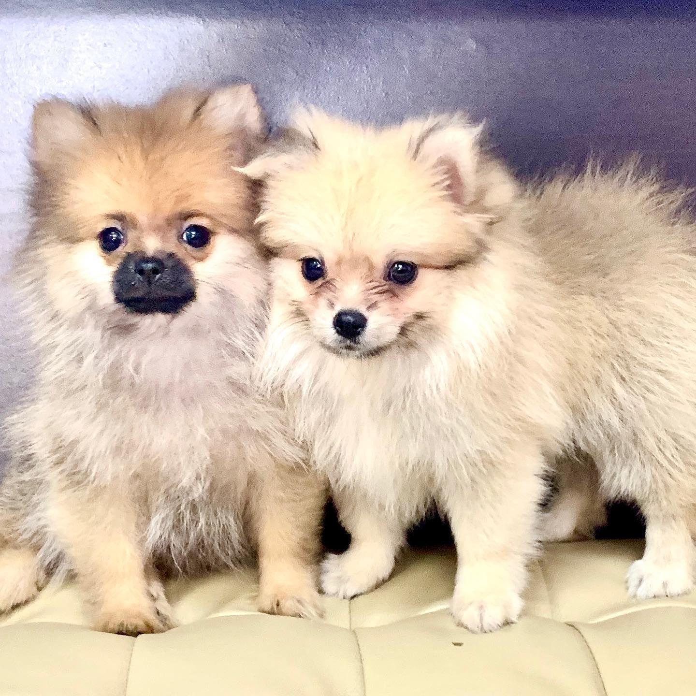 American Mini Pomeranian For Sale Call 81352277 Puppies For Sale Dogs Pomeranian Puppy For Sale