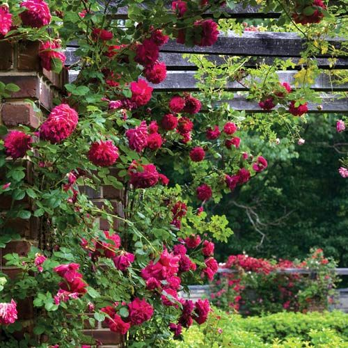 A profusion of david austin fallstaff roses garden for Conception jardin anglais