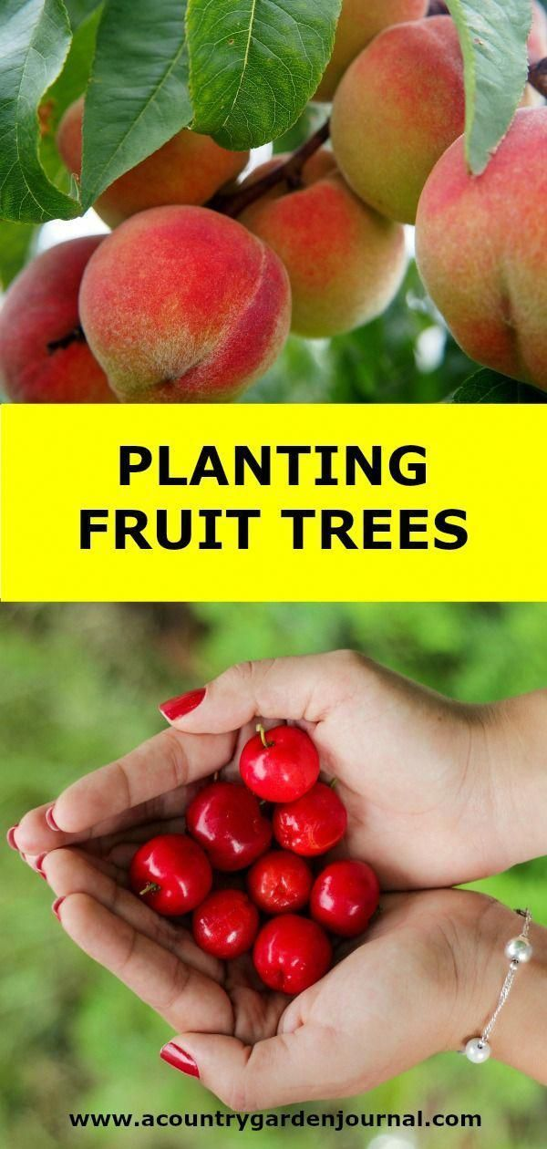 FRUIT TREES PLANTING FRUIT TREES in the right location is as important as choosing a variety that will survive in your area of the country.PLANTING FRUIT TREES in the right location is as important as choosing a variety that will survive in your area of the country.