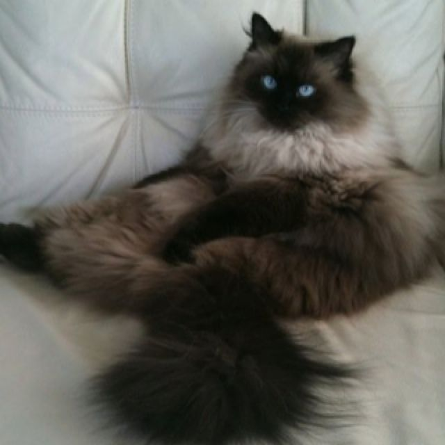 Pusskit My Seal Point Himalayan Beautiful Cats Pretty Cats Gorgeous Cats