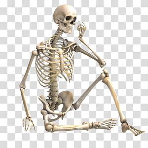 Human Skeleton Bone Skeletal Muscle Skeleton Transparent Background Png Clipart Human Skeleton Bones Human Bones Human Skeleton Anatomy