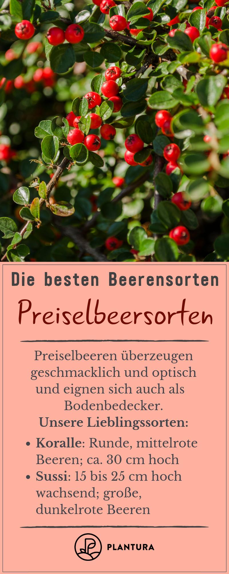 Die Besten Beerensorten Fur Ihren Garten Plantura Beeren Gartentipps Preiselbeeren