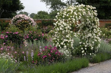 Roses trained over arches at Mottisfont Abbey Garden, Hampshire
