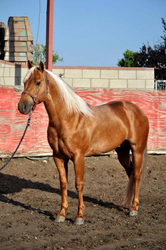 Quarter Horse stallion Olenas King Texas