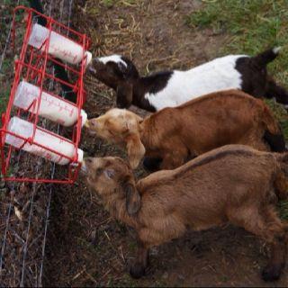 Ware3 Farms of Dardanelle, AR bottle babies. Top: buckling, Stormy. Born Jan 22, 2012. Middle: buckling, Rocky.  Born Jan 16, 2012. Bottom: doeling, Maxwella. Born Jan 17, 2012.