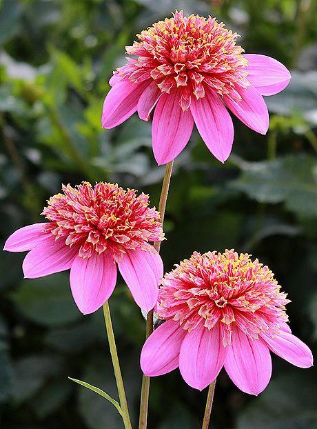 Mexico Dahlia From Corralitos Gardens Beautiful Flowers Pretty Flowers Flowers