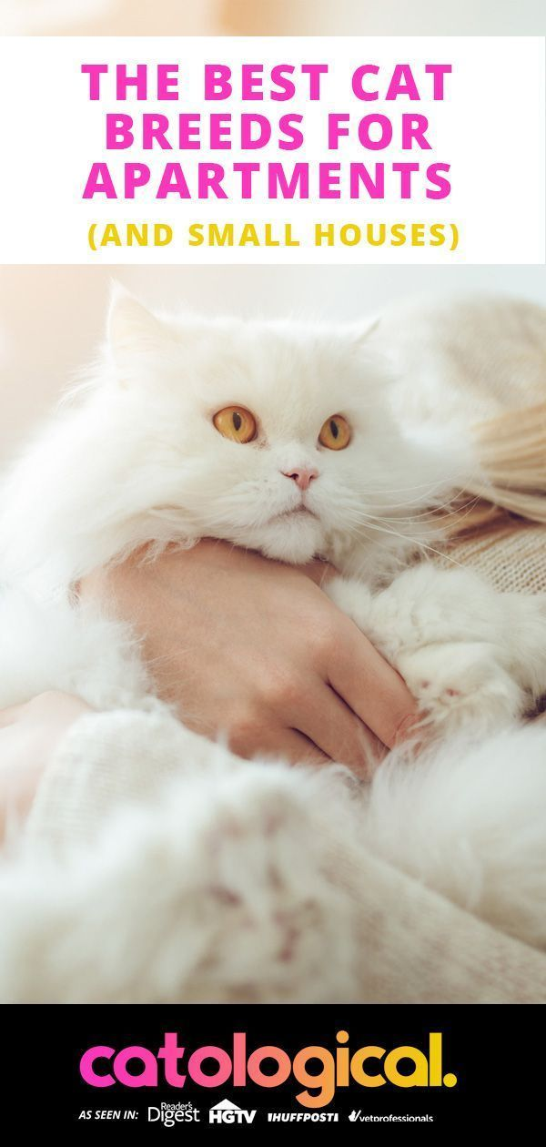 Some Cat Breeds Are Perfect For Apartment Living Even Some Huge Breeds So Surprising Find Out What Breed To A In 2020 Best Cat Breeds Cat Breeds Small Cat Breeds