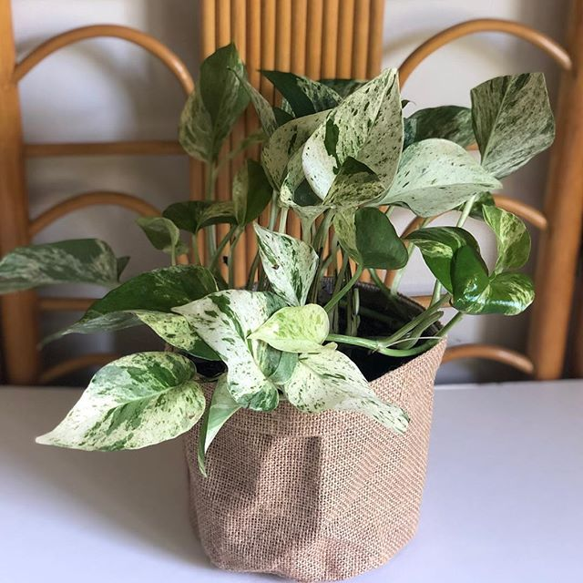Marble queen pothos indoor plant snow online ts same day delivery melbourne also rh pinterest