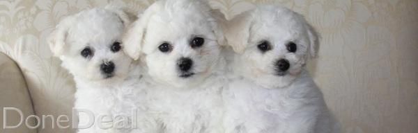 Bichon Frise Pups For Sale For Sale In Limerick On Donedeal Dogs For Sale Bichon Frise Puppies For Sale