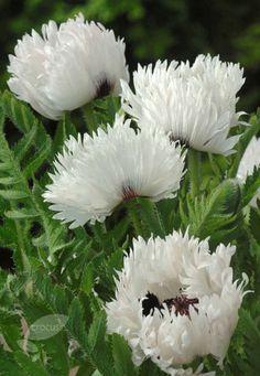 Oriental Poppy White Ruffles Papaver Blumenfotos Mohnblume Schone Blumen
