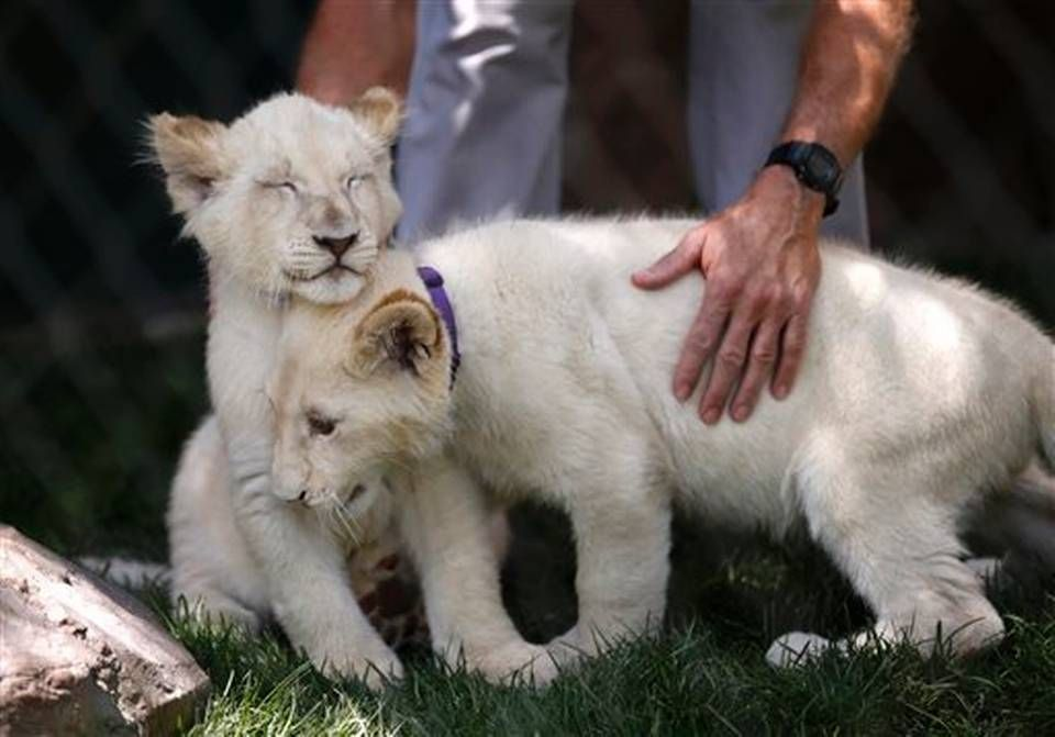 White lion cubs rub against each other during an event to welcome the cubs to Siegfried & Roy's Secret Garden and Dolphin Habitat, Thursday, July 17, 2014, in Las Vegas. Three white lion cubs, born in South Africa, are scheduled to be available for public viewing Friday.