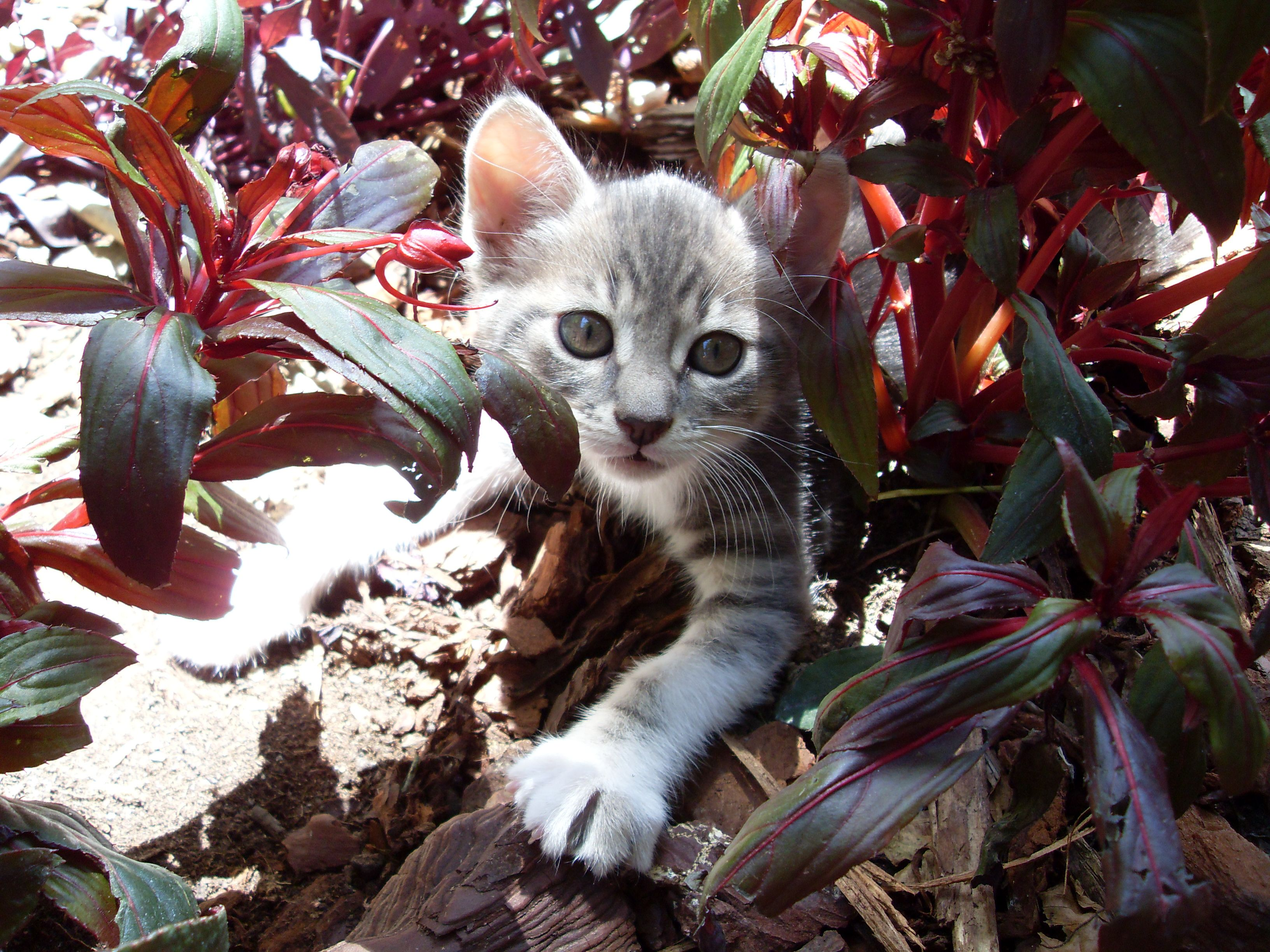 henry in the undergrowth as a kitten
