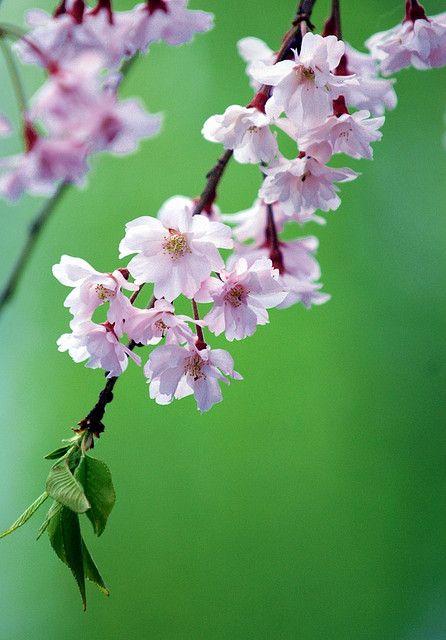 枝垂桜 by nobuflickr on Flickr.