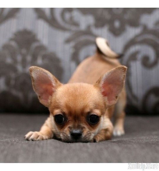 Chihuahua Dogs Chihuahua For Sale In V Teacup Chihuahua Puppies Chihuahua Puppies Cute Animals