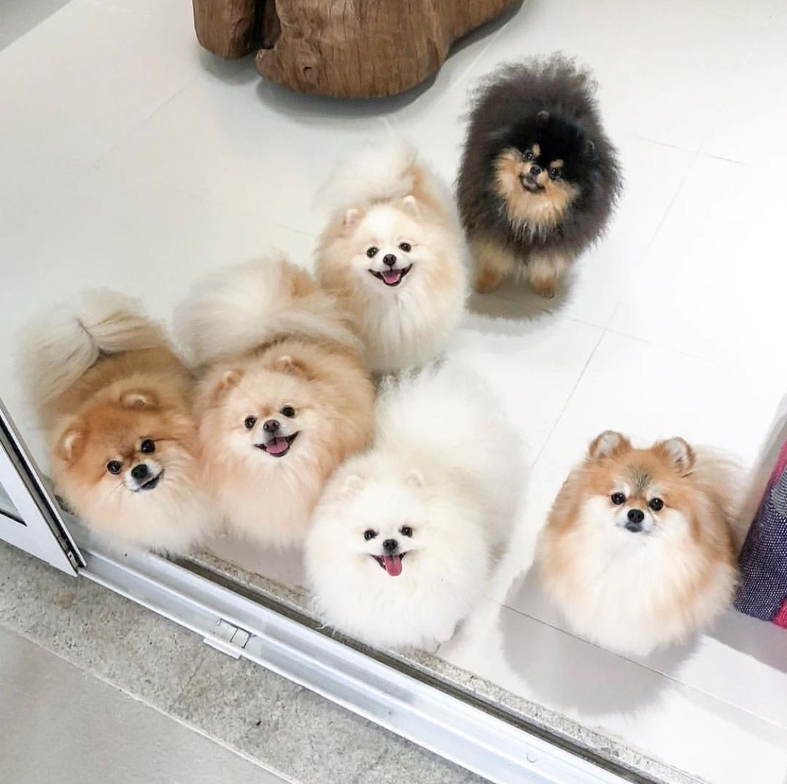 Pictures Of Dogs That Look Like Puff Balls