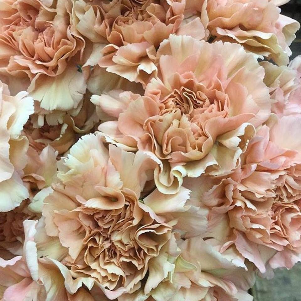 Carmel Carnations Http Www Sanfranciscoflowemart Com Flower Seeds Carnation Colors Flower Names