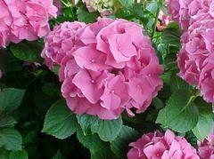 Hydrangea macrophylla 'Forever Pink' - Plant Finder