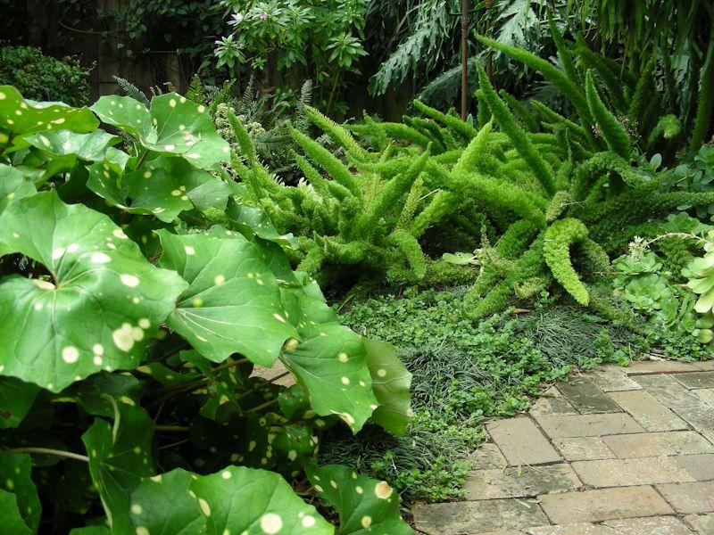 Asparagus 'Myers', Philodendron selloum, Aeonium