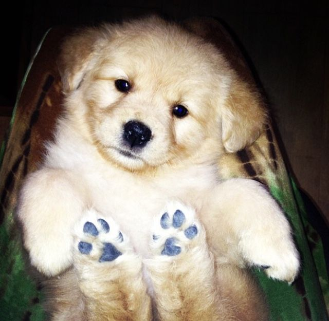Ahh My Old Work Buddy Golden Retriever Furry Dogs