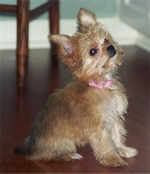 Ellie The Chorkie Puppy At 5 Months Old Yorkie Dad And A Long Hair Chihuahua Mom Yorkie Chihuahua Cute Puppies