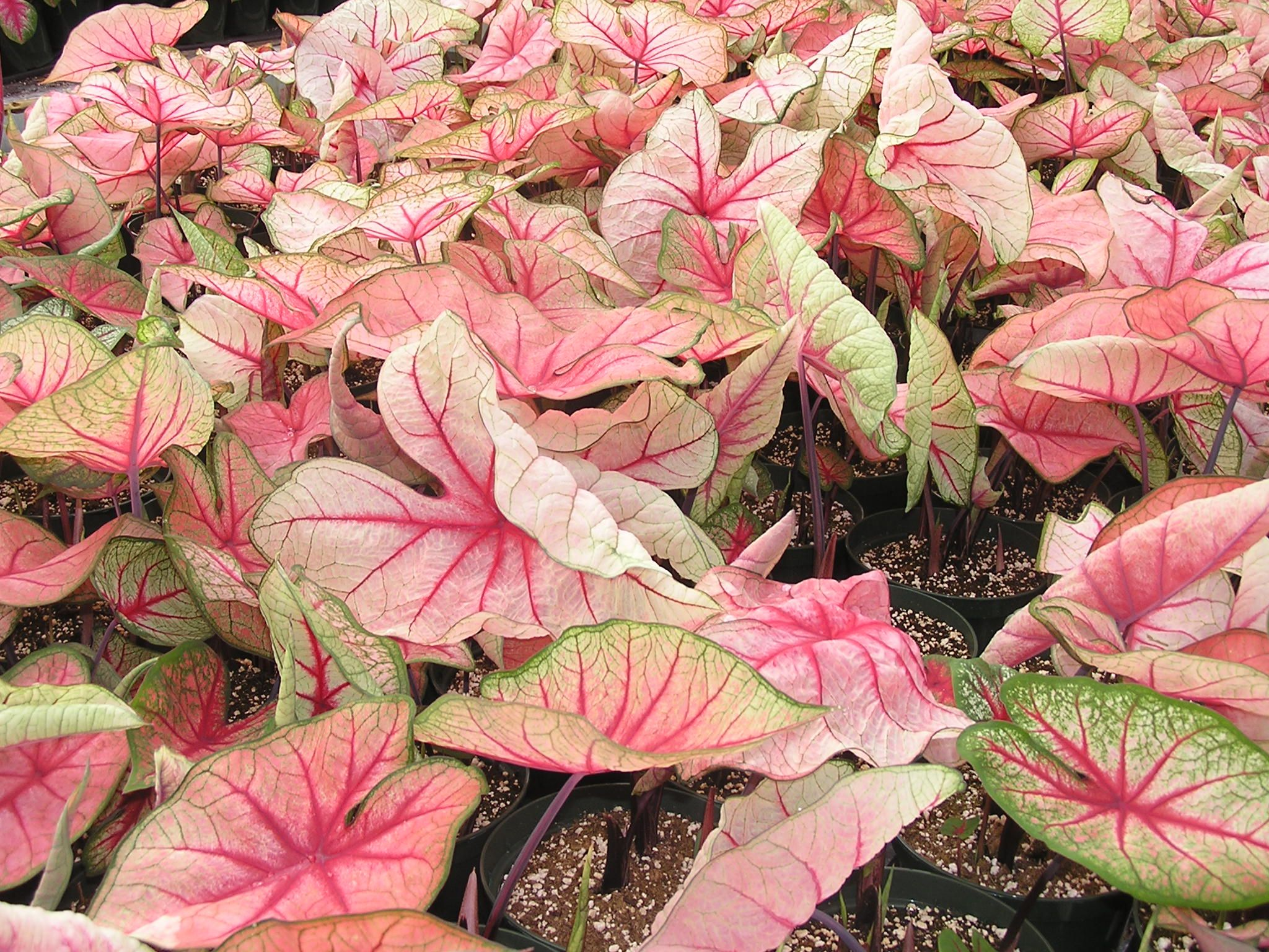 Caladium 39 White Queen 39 Is A Tuberous Rooted Perennial Most