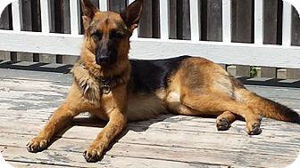 Find A Pet To Adopt German Shepherd Dogs Shepherd Dog German