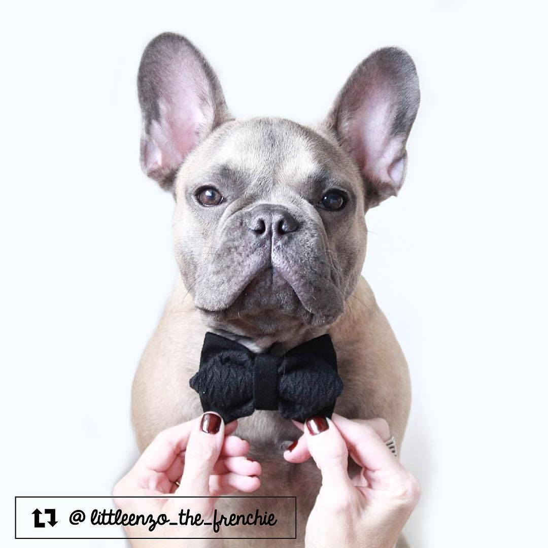 Little Enzo The French Bulldog From San Juan Puerto Rico French