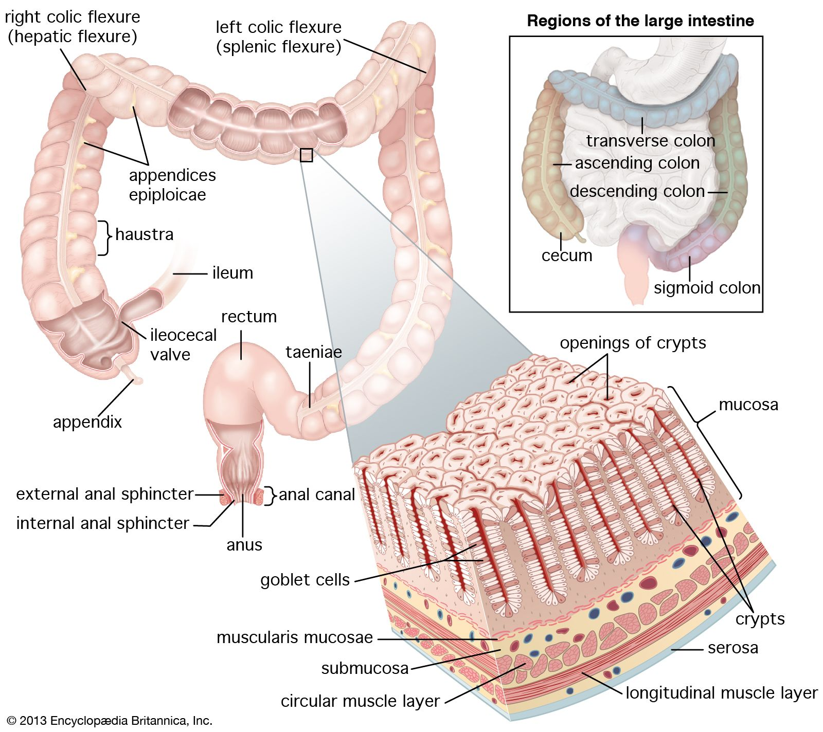 hight resolution of structures of the human large intestine rectum and anusthe mucosa of the large intestine is punctuated with numerous crypts that absorb water and are