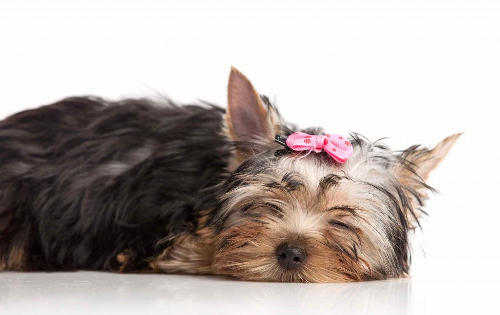 Yorkshire Terrier Price In India In 2020 Yorkshire Terrier